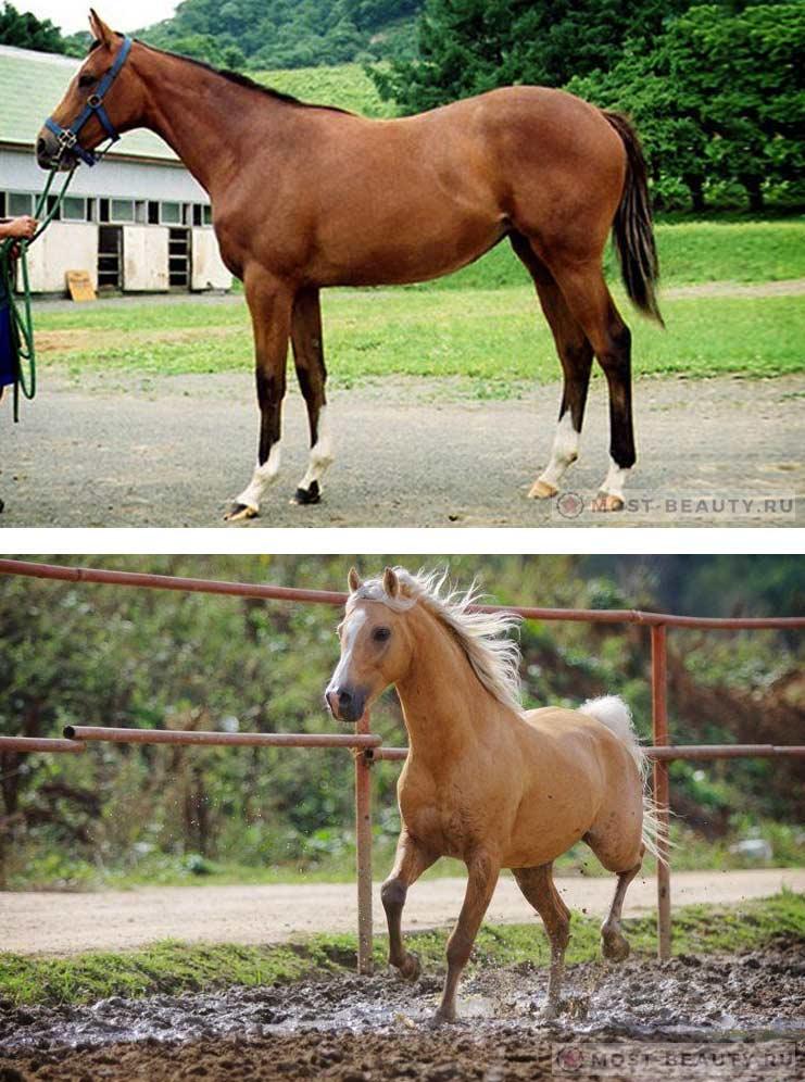 Азербайджанская лошадь
