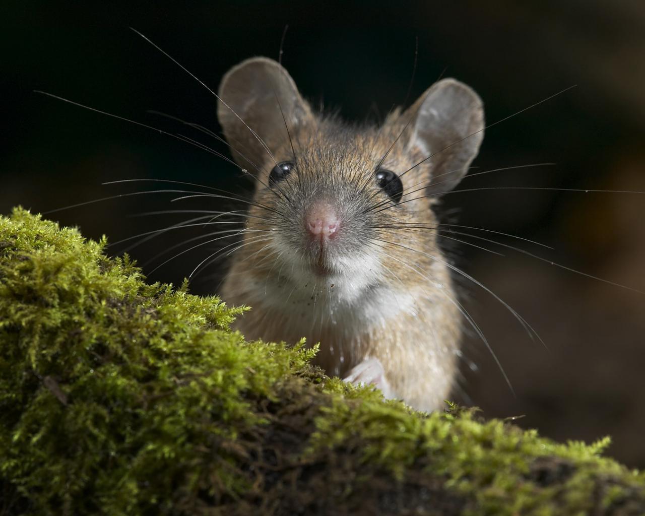 Фото мыши в природе