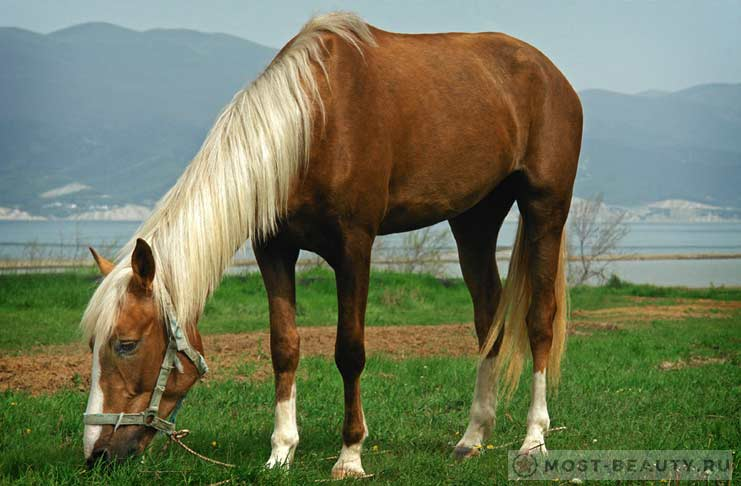 Каспийская лошадь
