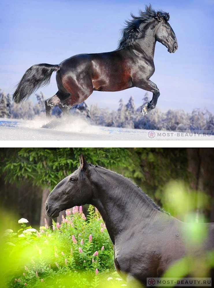 Кладрубская лошадь