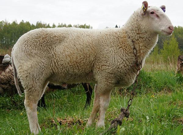 Молодая овца