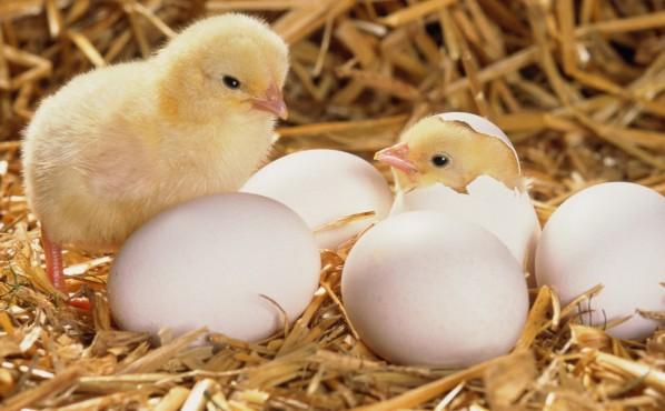 Определение пола цыпленка по яйцу