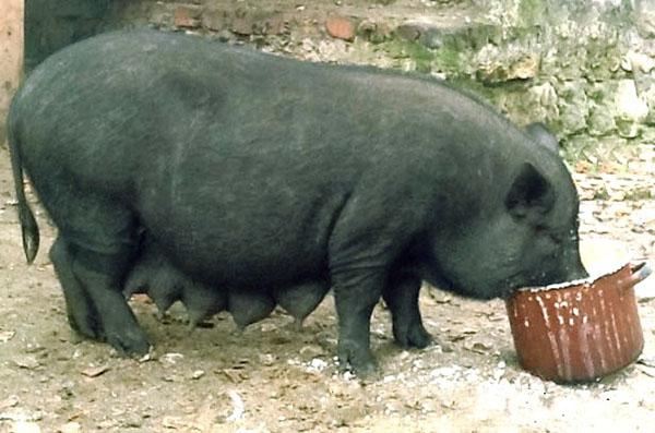 Выгодный бизнес на вьетнамских свиньях
