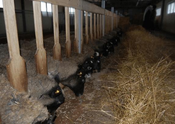 Выращивание овец на мясо