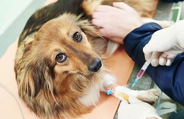 Бешенство-у-собак-первые-симптомы-и-признаки-профилактика-и-лечение-11