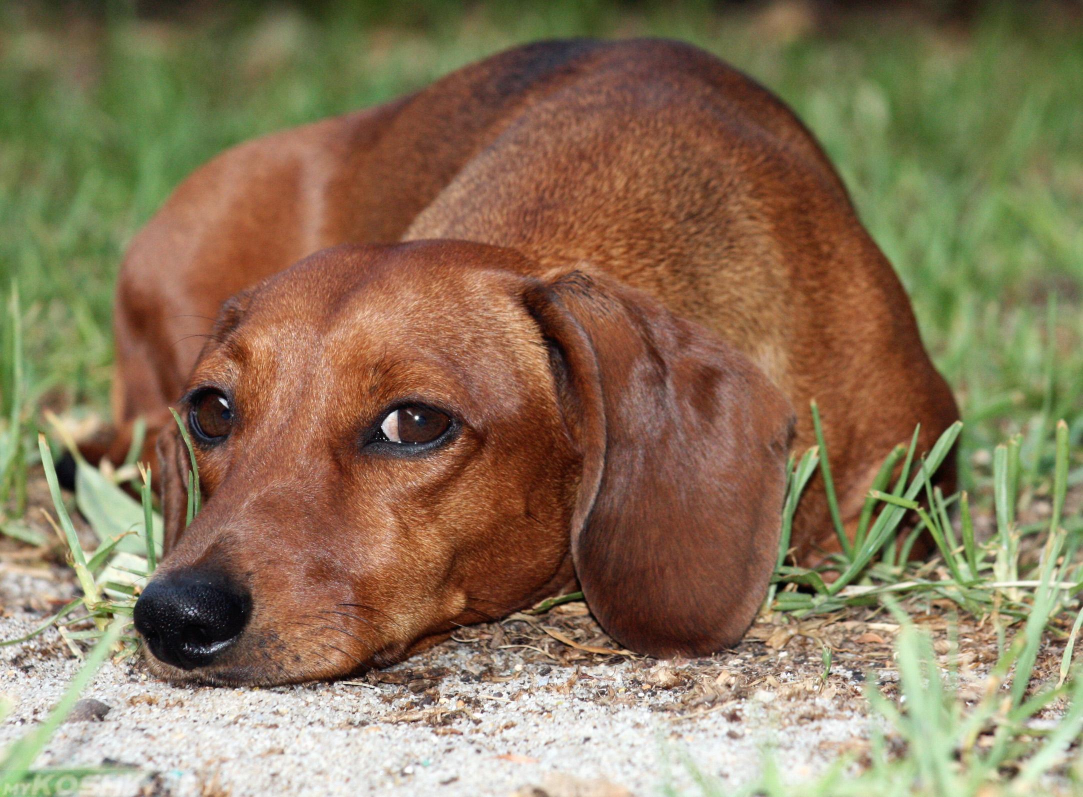 Заболевшая собака коричневого окраса