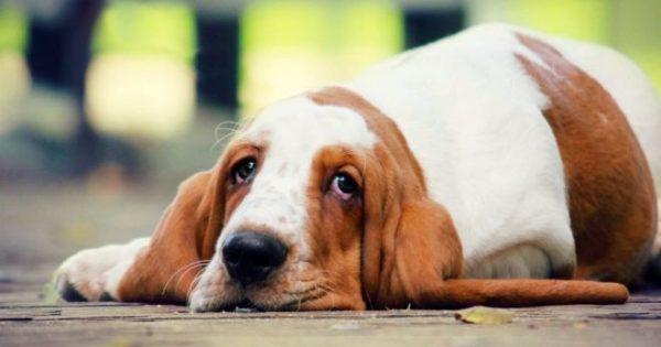 После того, как собака съест блоху или власоеда, она заразится цестодой