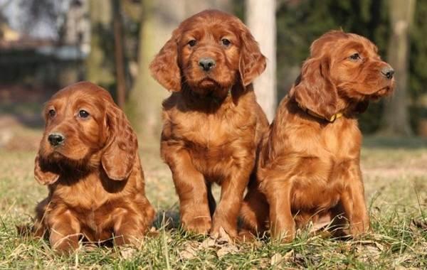 Ирландский-сеттер-собака-Описание-особенности-виды-уход-и-цена-породы-11