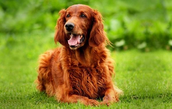 Ирландский-сеттер-собака-Описание-особенности-виды-уход-и-цена-породы-17