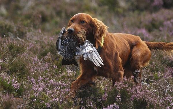 Ирландский-сеттер-собака-Описание-особенности-виды-уход-и-цена-породы-18