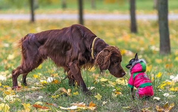 Ирландский-сеттер-собака-Описание-особенности-виды-уход-и-цена-породы-5