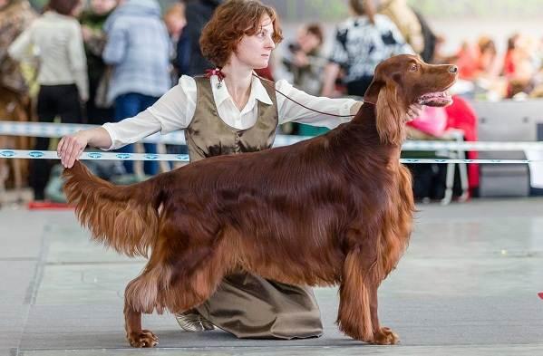 Ирландский-сеттер-собака-Описание-особенности-виды-уход-и-цена-породы-9