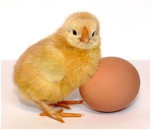 Какого пола цыпленок