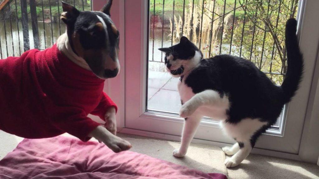 Мини бультерьер и кошка