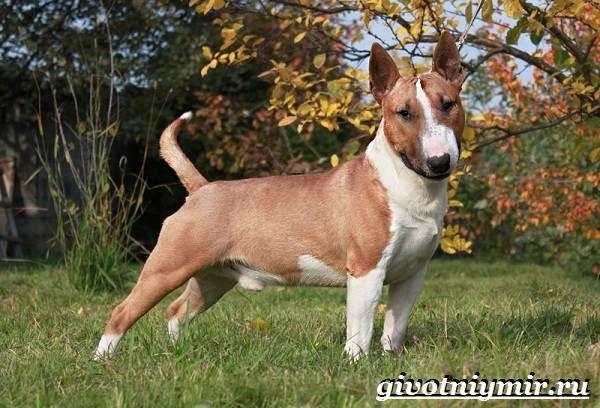 Миниатюрный-бультерьер-собака-описание-особенности-уход-и-цена-миниатюрного-бультерьера-3