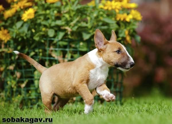 Миниатюрный-бультерьер-собака-Описание-особенности-уход-и-цена-породы-10
