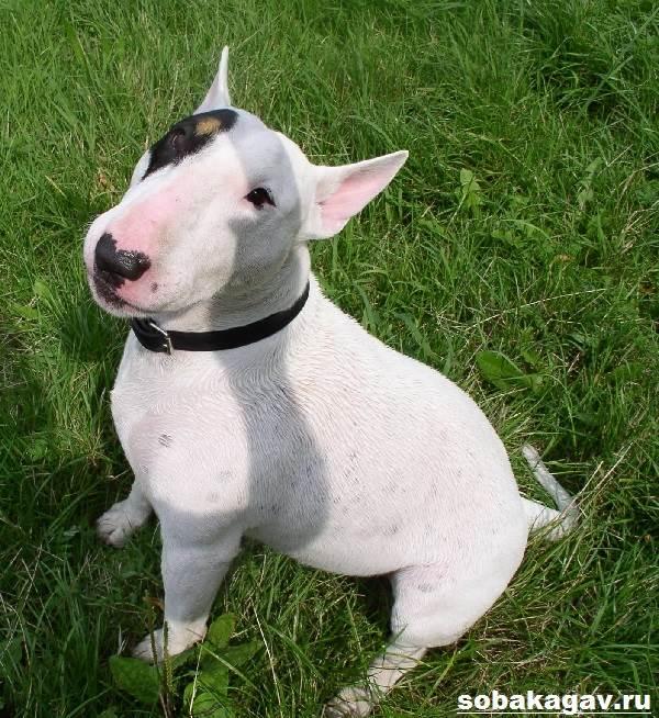 Миниатюрный-бультерьер-собака-Описание-особенности-уход-и-цена-породы-6