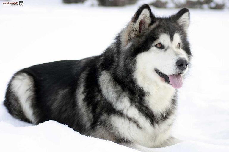 Описание и характер собак породы маламут