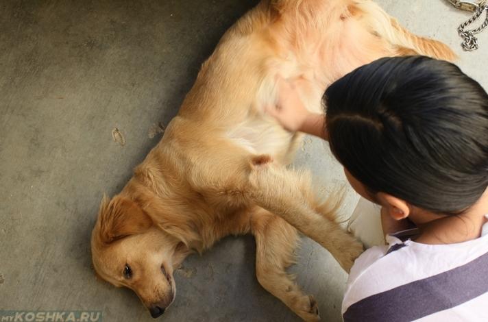 Прощупывание молочных желез у собаки