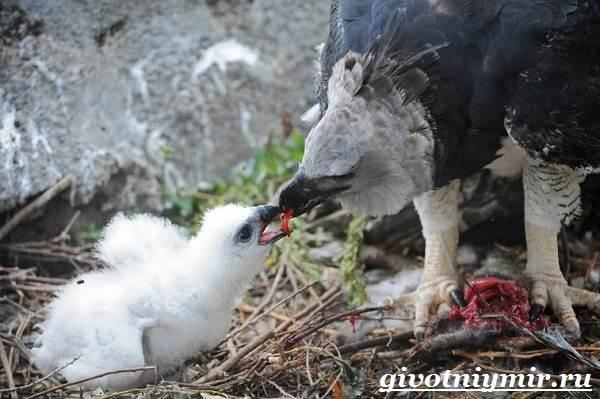 Птица-орел-Образ-жизни-и-среда-обитания-орла-11