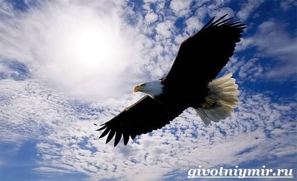 Птица-орел-Образ-жизни-и-среда-обитания-орла-2