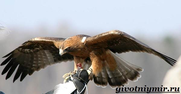 Птица-орел-Образ-жизни-и-среда-обитания-орла-4