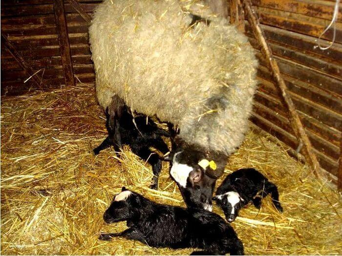 Овца с ягнятами романовской породы