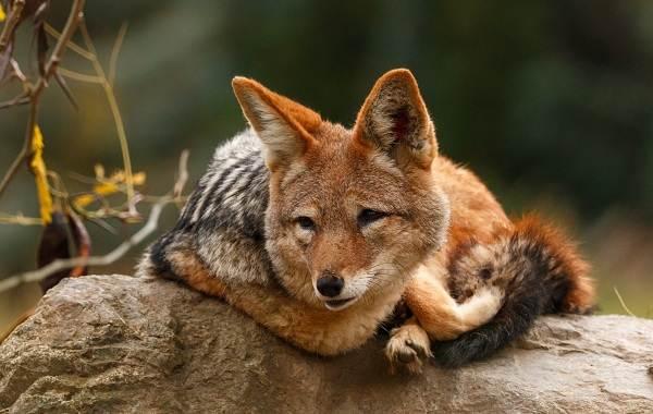 Шакал-животное-Описание-особенности-виды-образ-жизни-и-среда-обитания-шакала-4