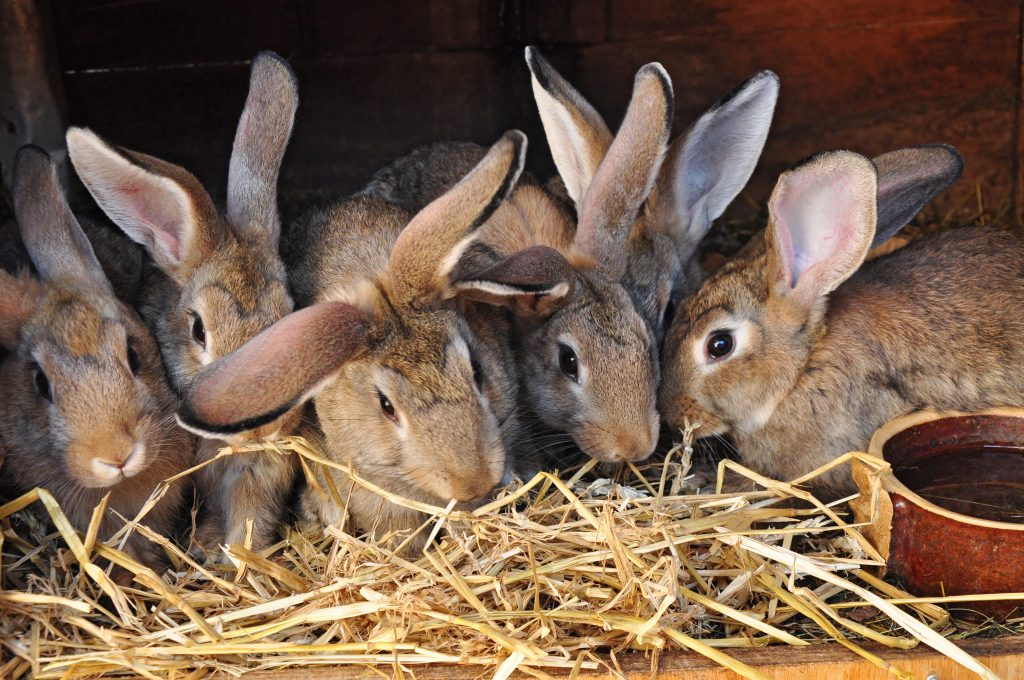 Гигиена содержания кроликов имеет большое значение в профилактике болезней. Кроликов нужно содержать в чистых и сухих клетках