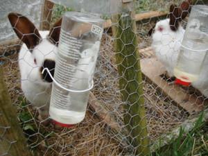 Сколько воды кроликам