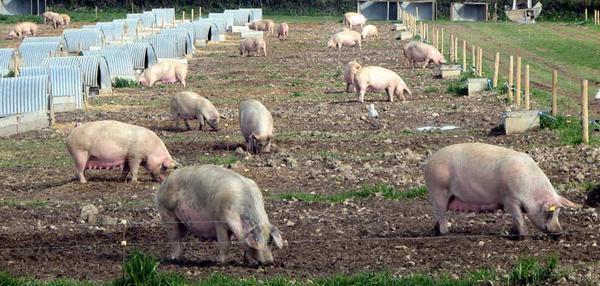 Выгульные площадки для свиней