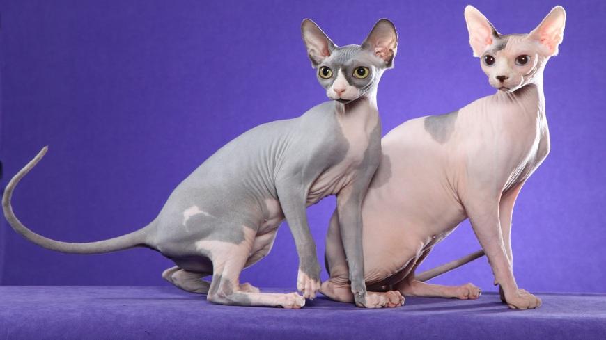Кламоксил для котов