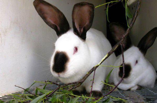 Какие ветки можно давать кроликам