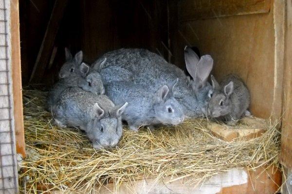 Крольчиха и кролики породы Серый великан