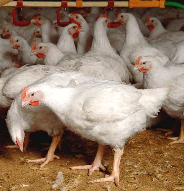 Чтобы предотвратить заболевание птицы, необходимо соблюдать правила содержания