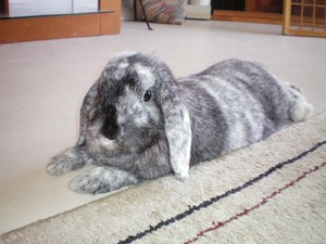 Домашнее содержание кроликов породы серый великан