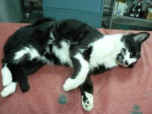 Как лечить гастроэнтерит у кошек