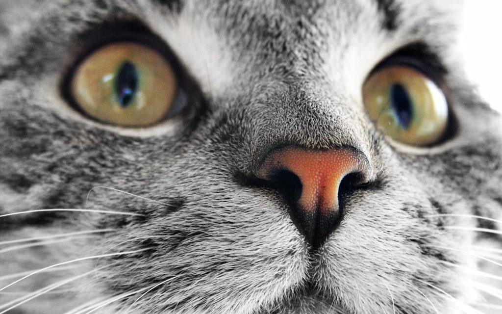 Холодный Теплый нос у кошки