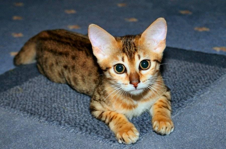 котенок мау