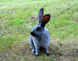 Кролики Серый великан: описание, уход и размножение