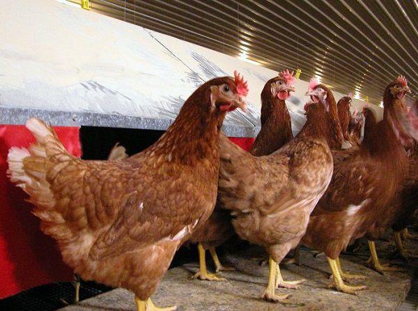 Использование кур породы Родонит в сельском и подсобном хозяйстве