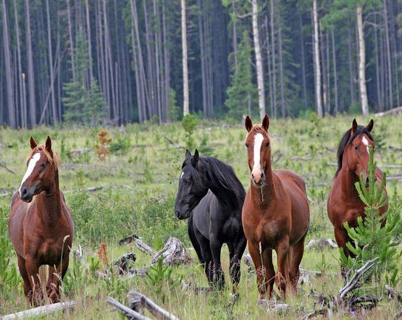 Фото диких лошадей