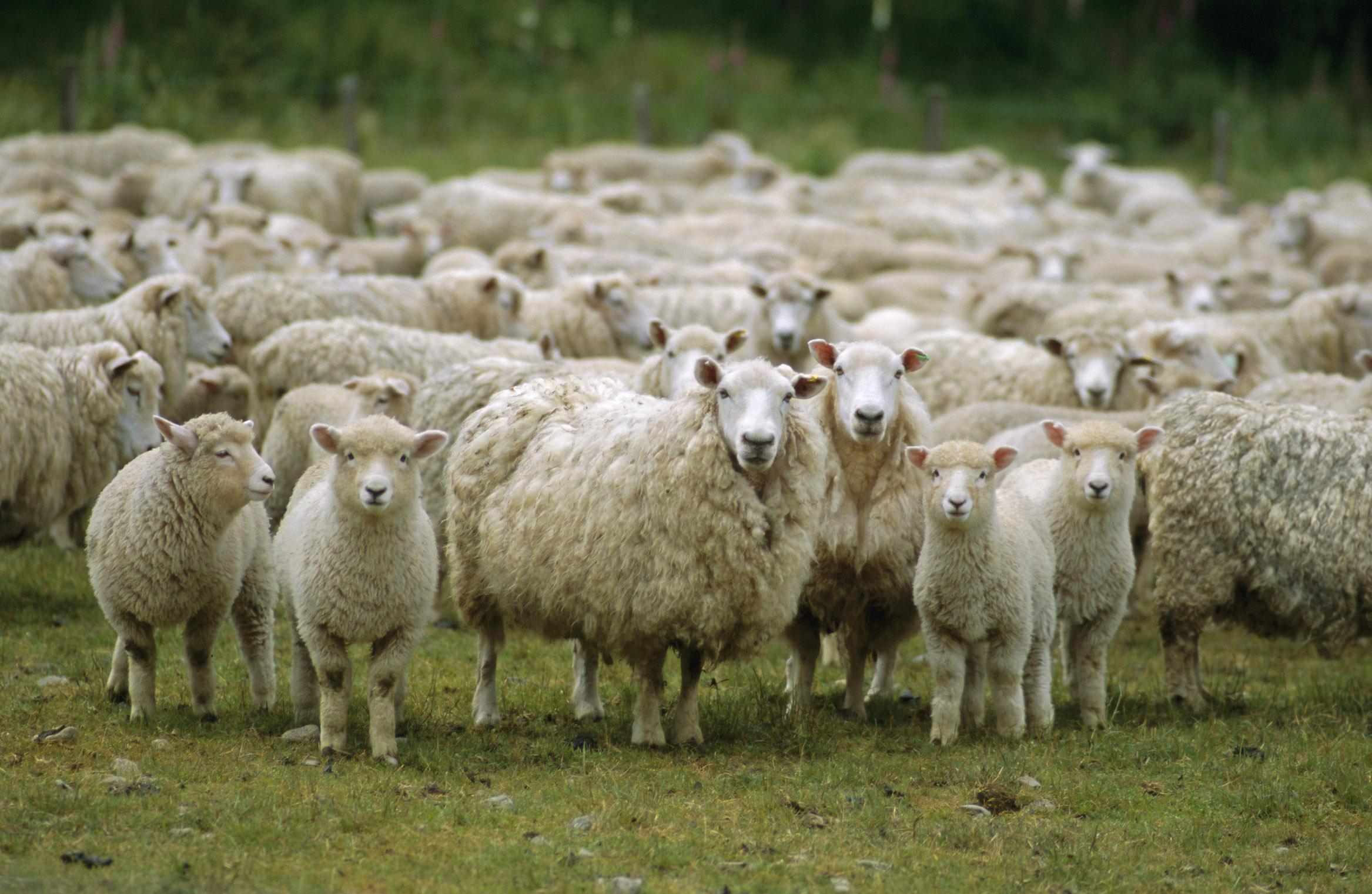 Стадо овец перед стрижкой