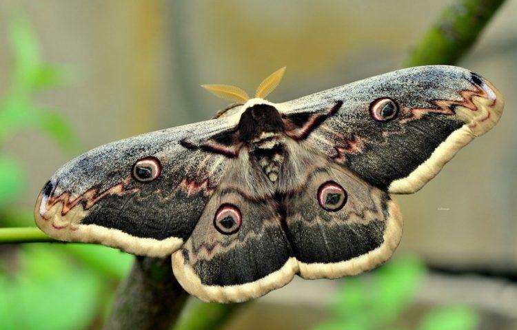 Гусеница большого ночного павлиньего глаза