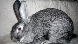 Содержание кроликов серый великан