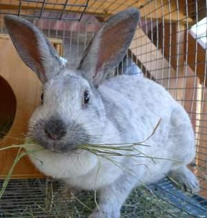 Заболевания кроликов породы серый великан