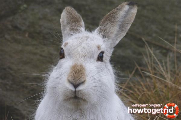 Защита зайцев беляков