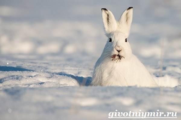 Заяц-беляк-Особенности-и-среда-обитания-зайца-беляка-5