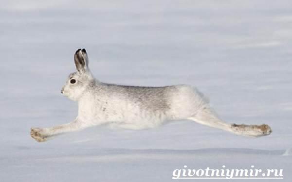 Заяц-беляк-Особенности-и-среда-обитания-зайца-беляка-6
