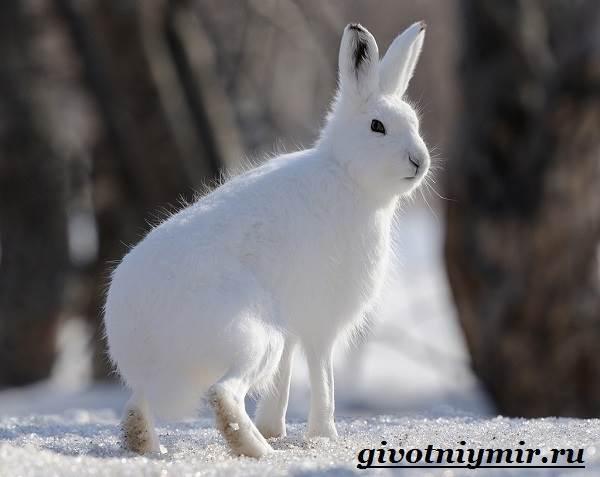 Заяц-беляк-Особенности-и-среда-обитания-зайца-беляка-7